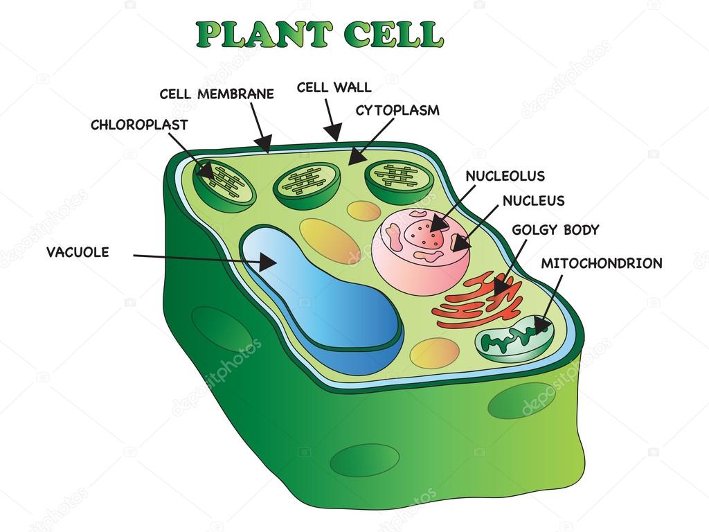 Pictures A Plant Cell
