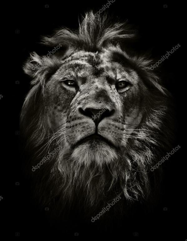 Arrogant lion — Stock Photo © markrhiggins #73071795