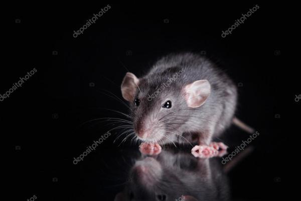 Коричневая домашняя крыса на черном фоне — Стоковое фото ...