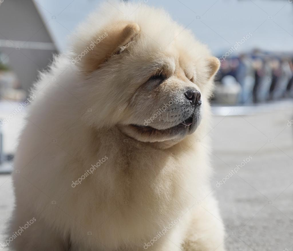 狗的品種松獅犬 — 圖庫照片©baronb#105118946