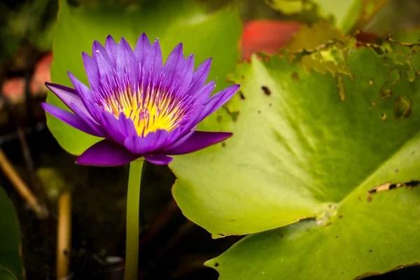 Красивый розовый или лотосный цветок в пруду с пчелой ...