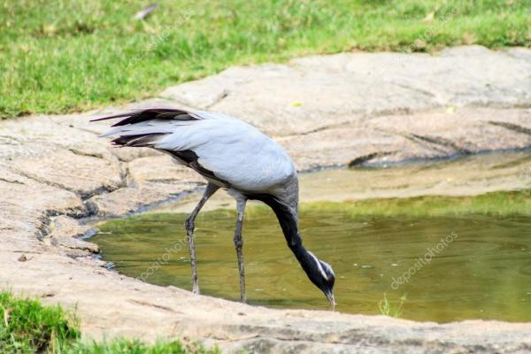 Красавка фото птица. Птица в полях и пуд Демуазель кран ...