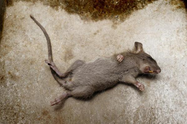 Крыса умирает на земле — Стоковое фото © phloenphoto #57565749