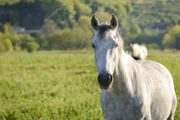 Белая лошадь на лугу — Стоковое фото © fontaineg974 #112495890