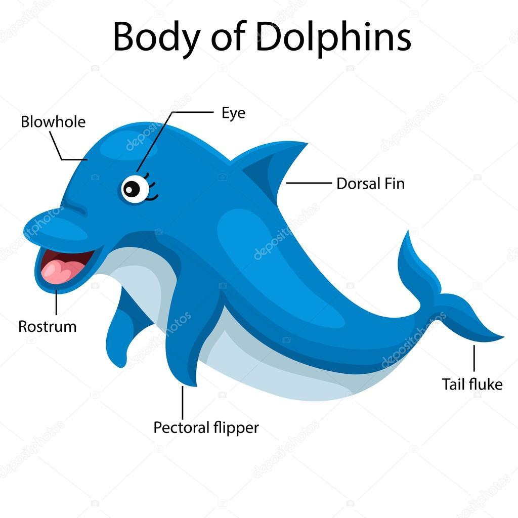 Cuerpo De Ilustrador De Delfines