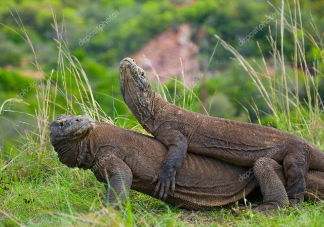 Komodo dragons (Varanus komodoensis) ⬇ Stock Photo, Image by © GUDKOVANDREY #92367590