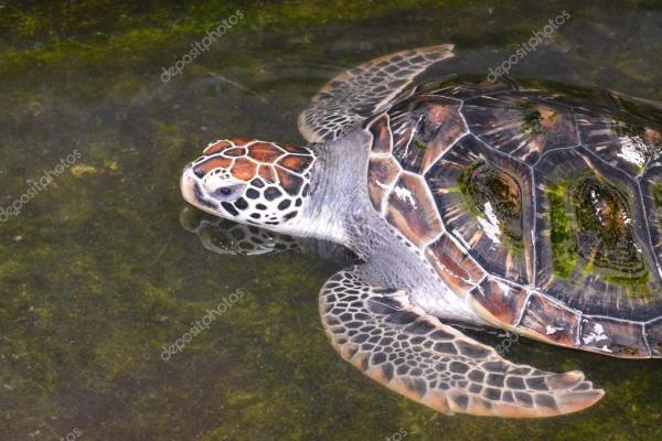 Фото: большие черепахи. Большие красочные черепаха плавает ...