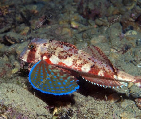 морской петух рыба плавает в море, показаны его цвета ...