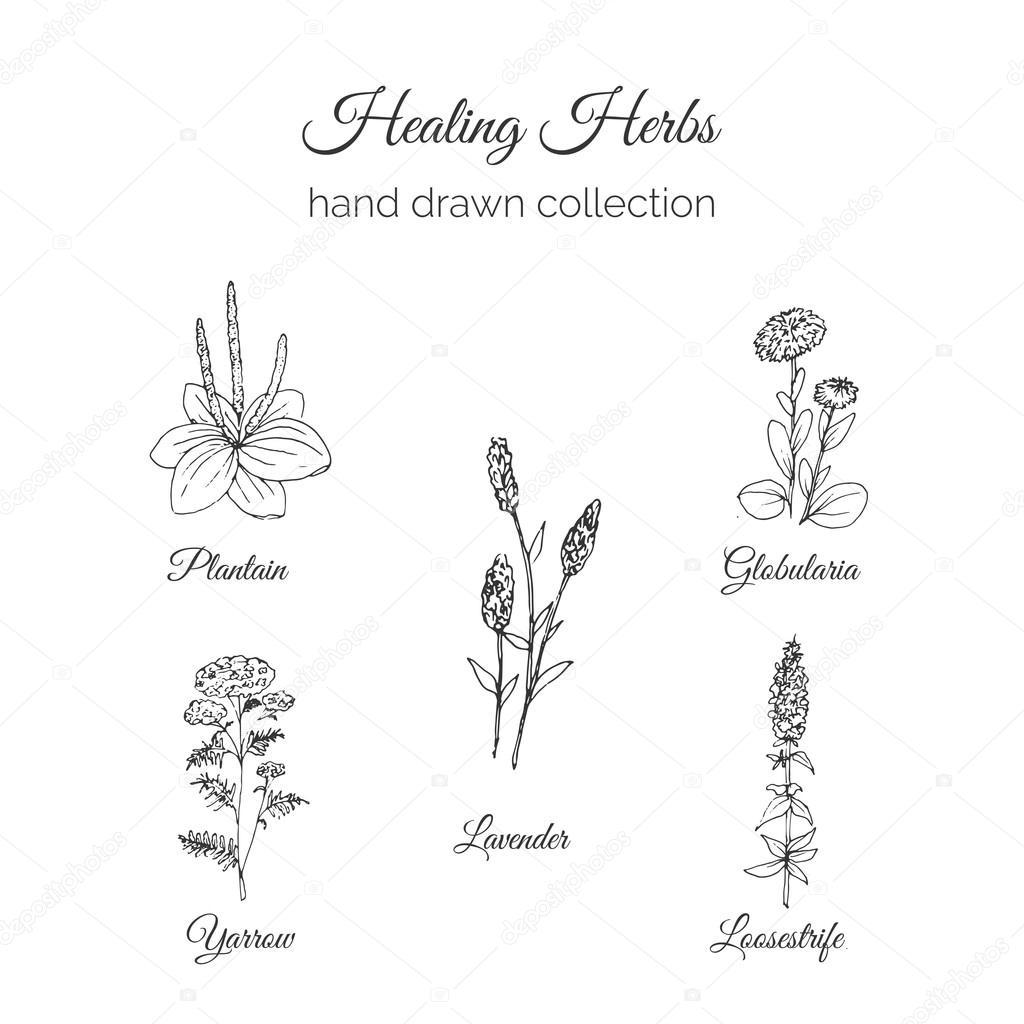 Holistic Medicine Healing Herbs Illustration Handdrawn
