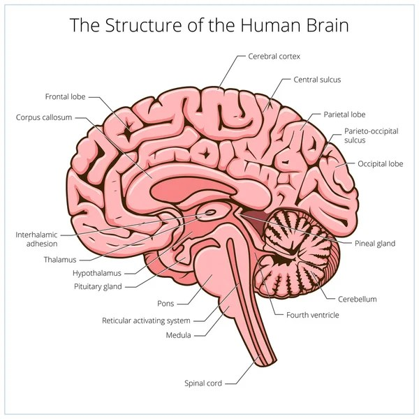 Áˆ Sagittal View Brain Labeled Stock Pictures Royalty Free Thalamus Vectors Download On Depositphotos