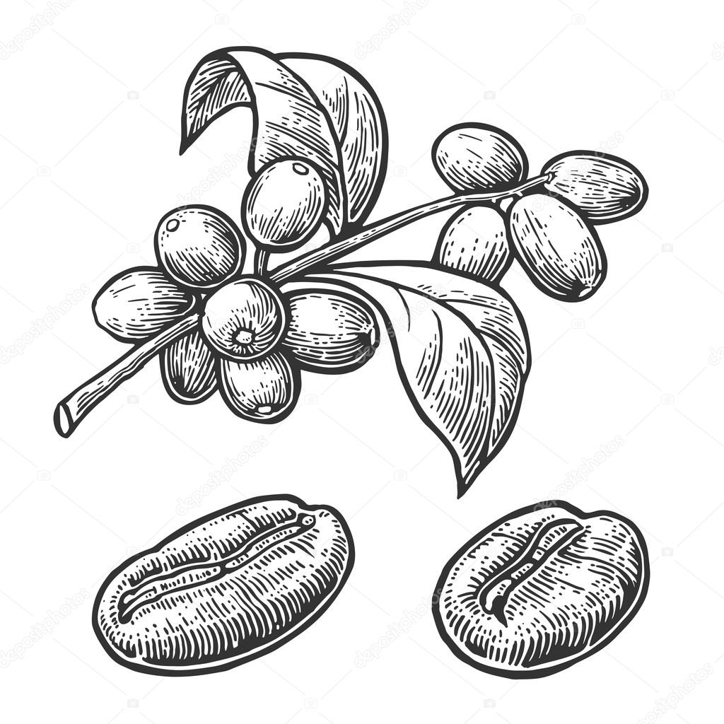 Coffee Bean Branch With Leaf And Berry Hand Drawn Vector