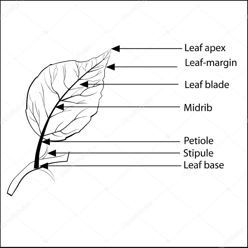 Picture A Leaf And Its Parts