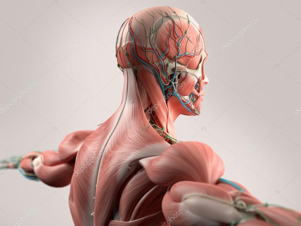 Anatomia Humana Que Mostra A Cara A Cabeca Os Ombros E O