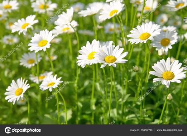 Первоклассный цветок на зеленом лугу (отборный dof ...