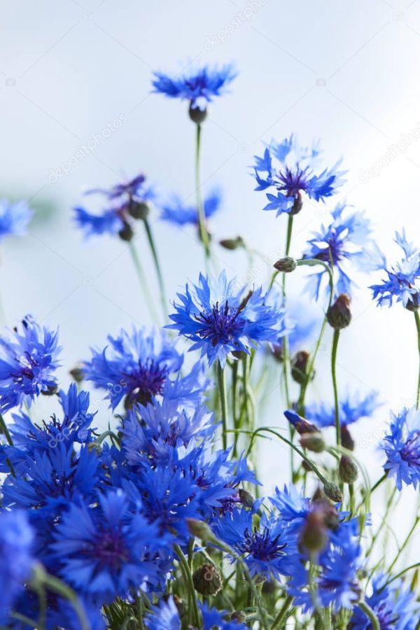 красивые голубые цветы васильки — Стоковое фото © strelok ...