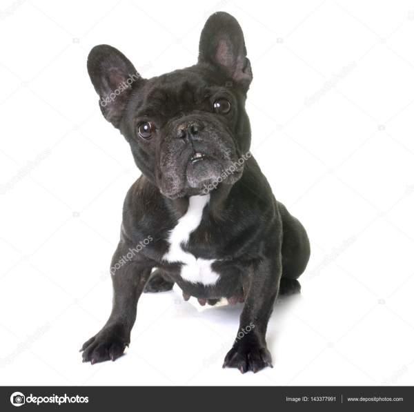 Фото: французский бульдог черный. Французский бульдог в ...