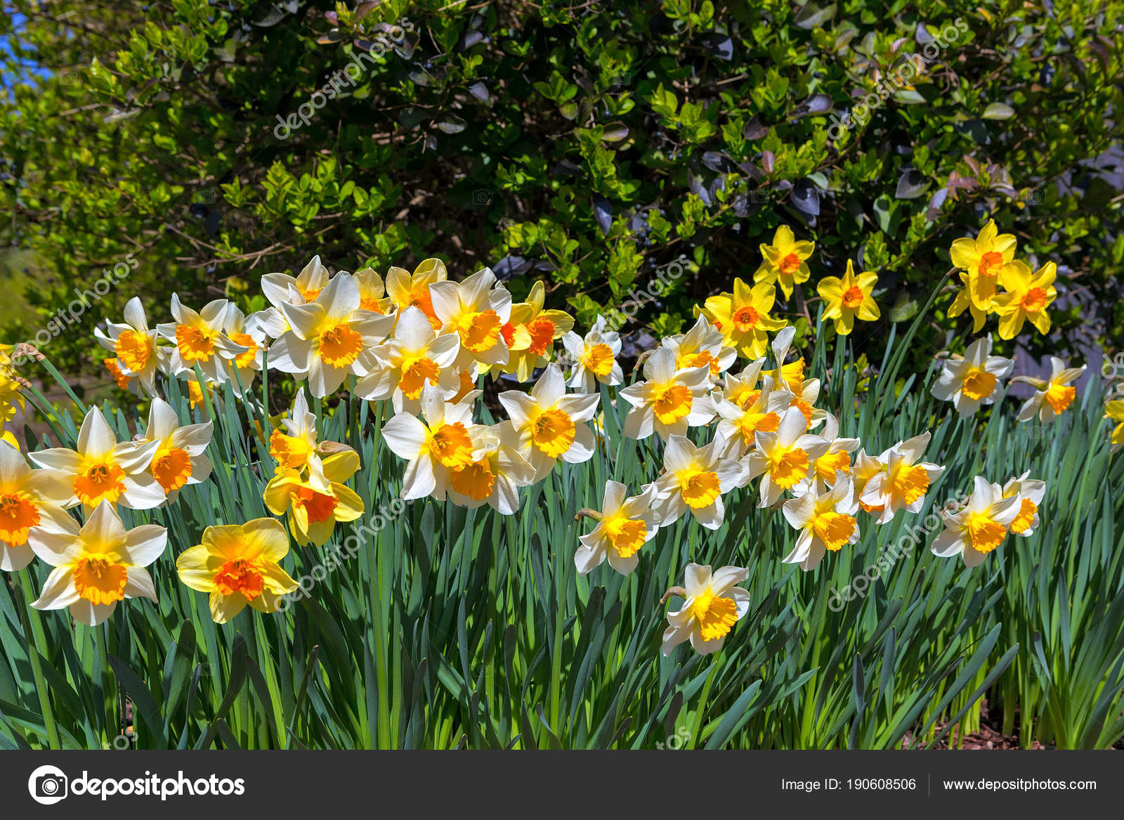 Daffodils Flowers Blooming in Spring     Stock Photo      jpldesigns     Daffodil Flowers blooming in the garden during spring season     Photo by  jpldesigns
