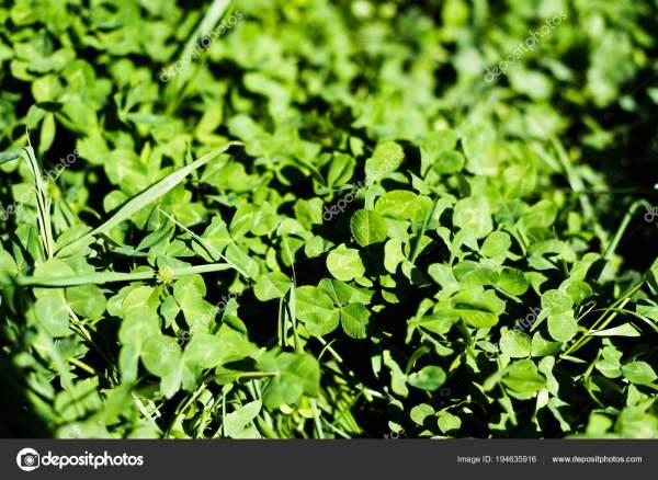 Зеленый Клевер Листья Летнем Лугу — Стоковое фото © Y ...
