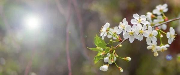 Цветущая вишня фотографии и картинки цветущая вишня