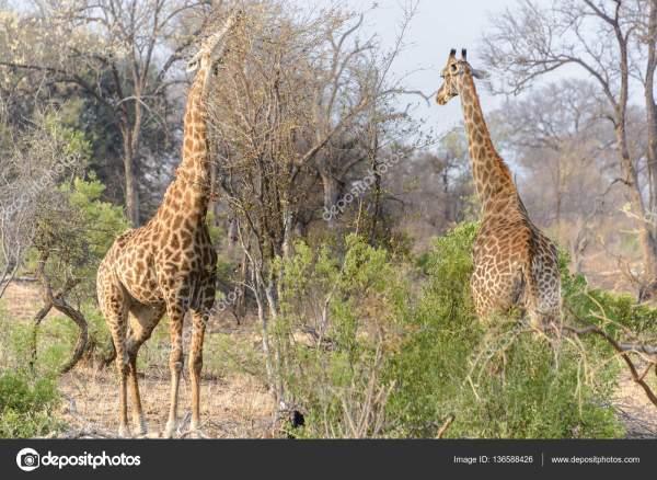 Южноафриканские жирафы в Национальном парке Крюгер, ЮАР ...