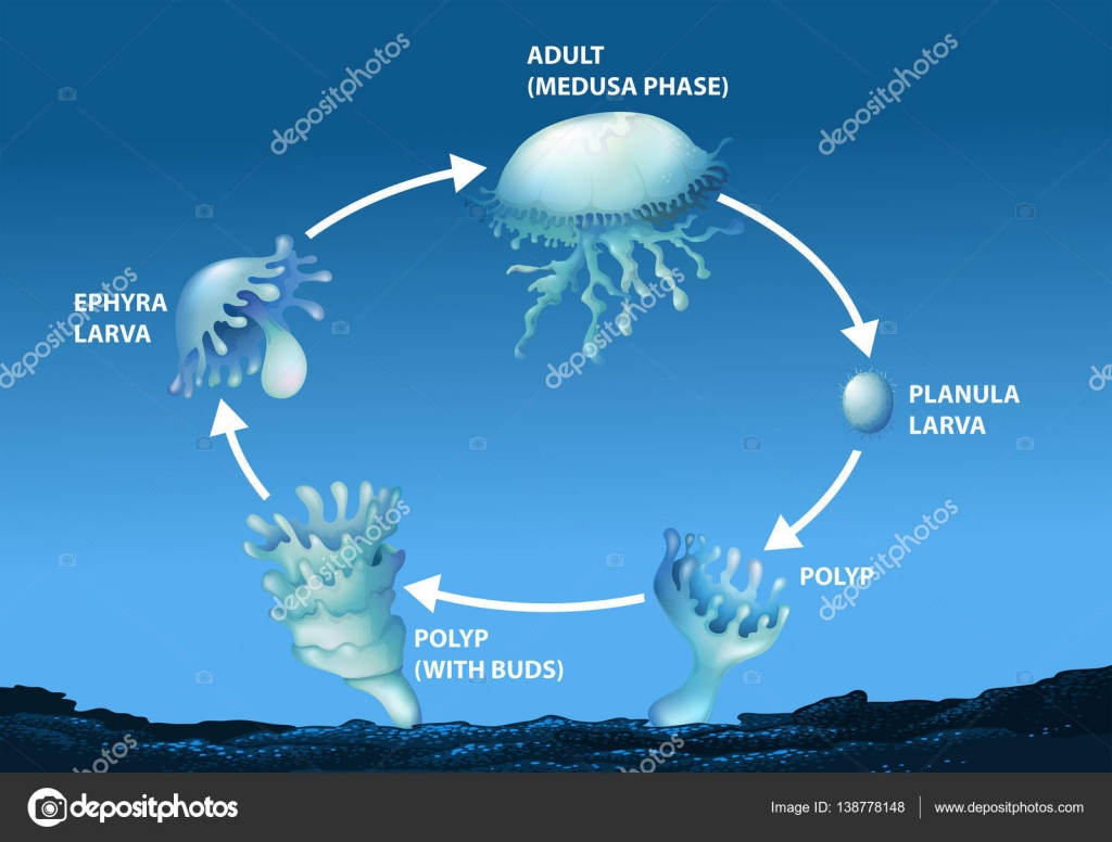 Diagram Showing Life Cycle Of Jellyfish