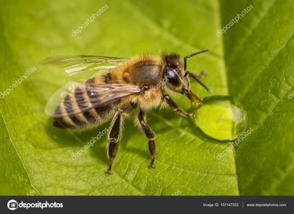Макроизображение пчелы на листе, пьющей каплю меда из улья ...