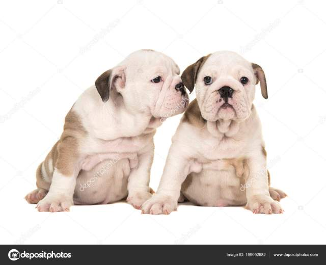 two cute brown and white english bulldog puppy dogs sitting