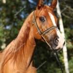 Amazing Arabian Horse With Beautiful Halter Stock Photo C Zuzule 171152650