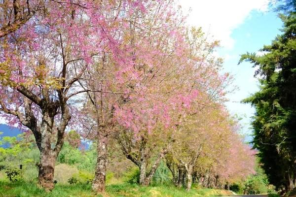 Цветущая вишня в Таиланде — Стоковое фото © actionbleem ...