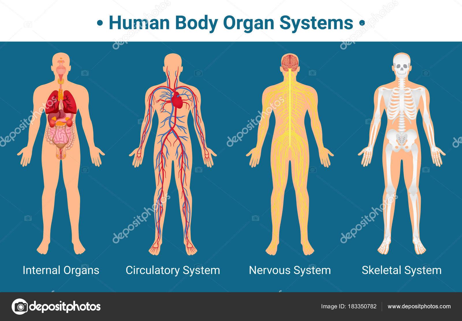 Poster De Sistemas Do Corpo Humano Orgao