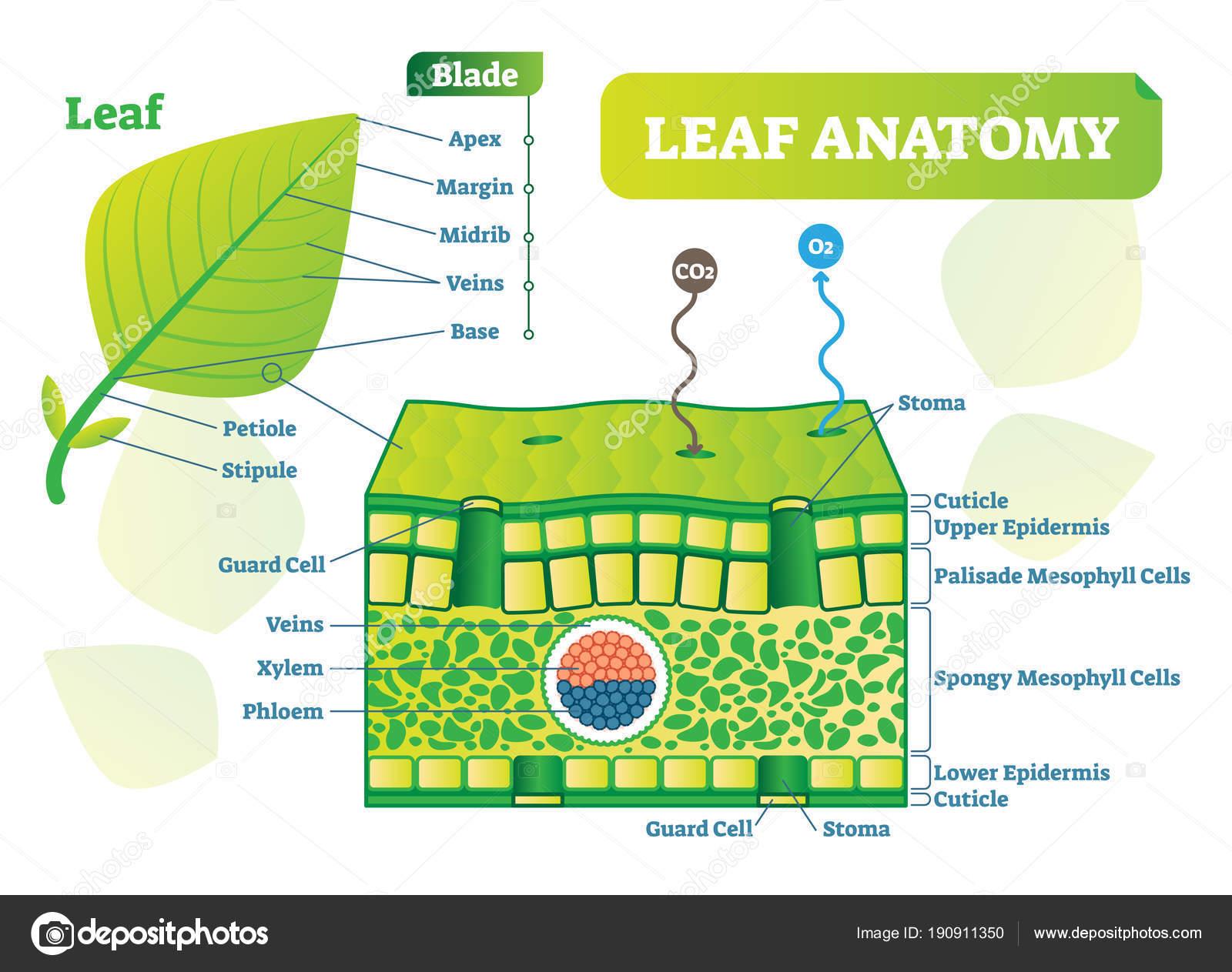 Blad Anatomie Vector Illustratie Diagram Biologische