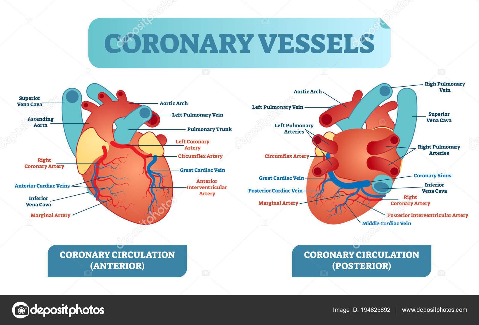 Coronaire Bloedvaten Anatomische Gezondheidszorg