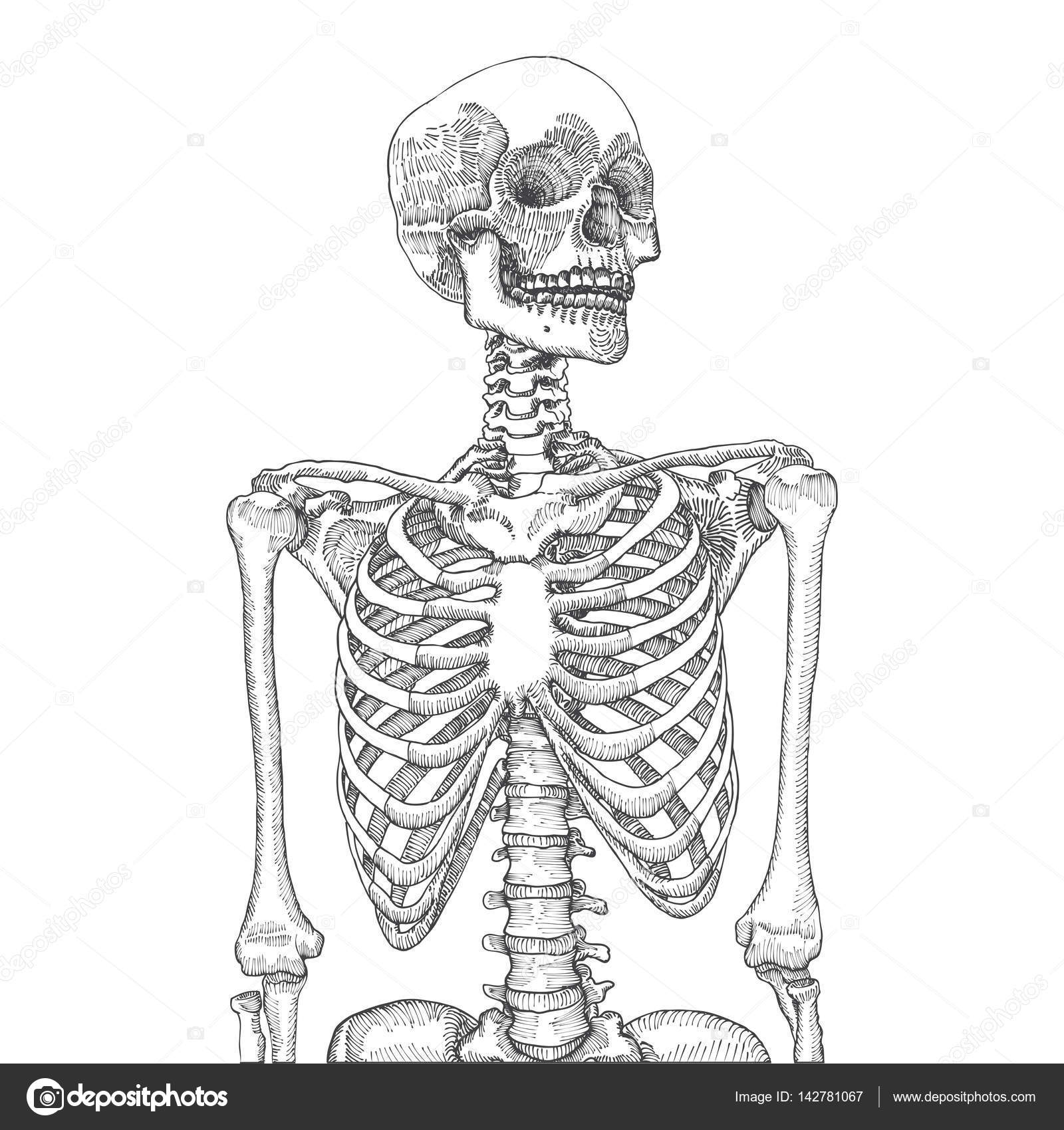 Human Ribcage With Skull Sketch