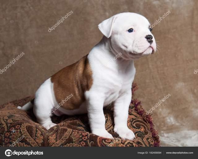 lustige rote weiße farbe american bulldog welpen auf hellem