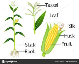 The illustration shows part of the corn plants — Stock