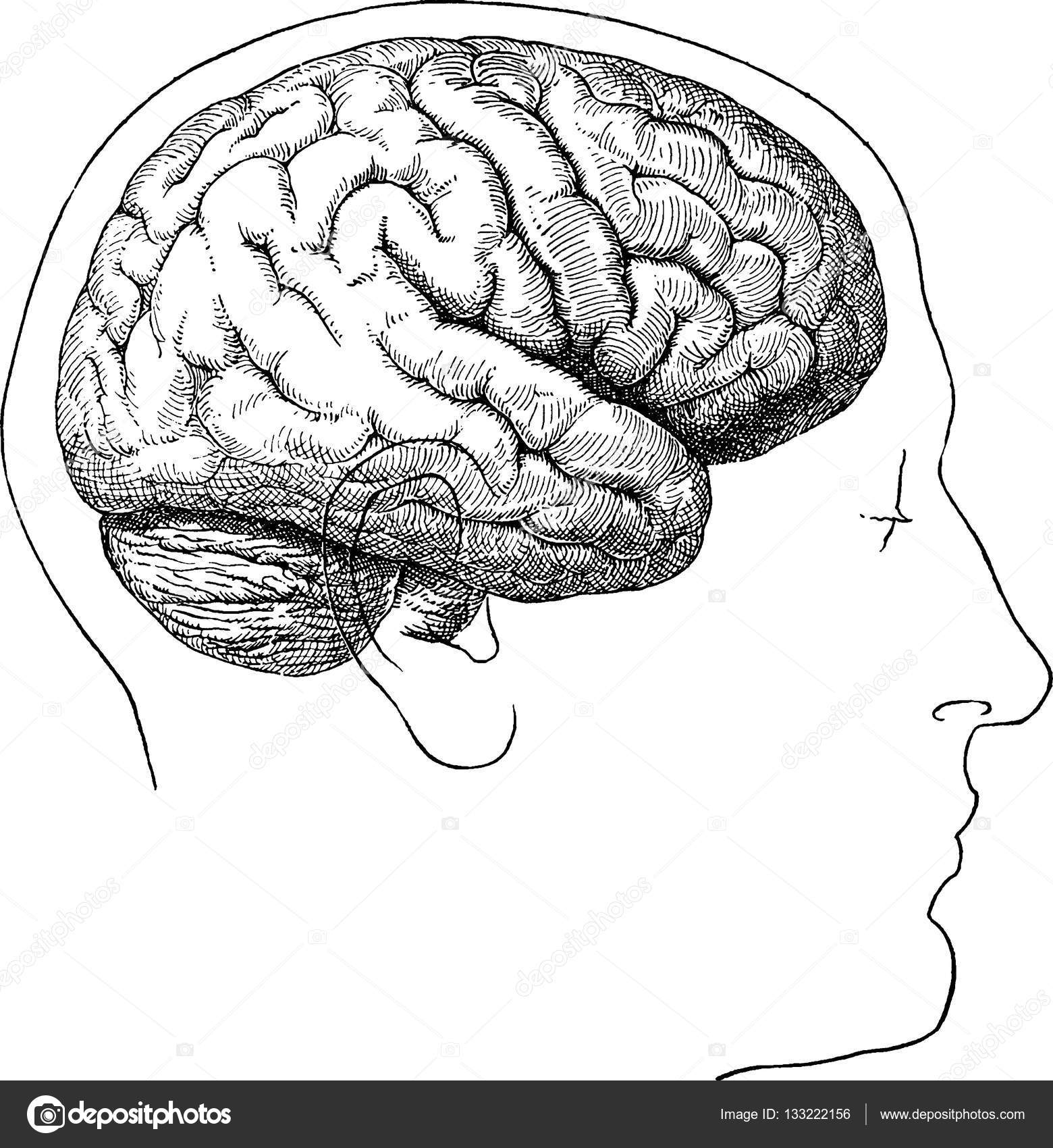Cerebro Humano Imagen Vintage