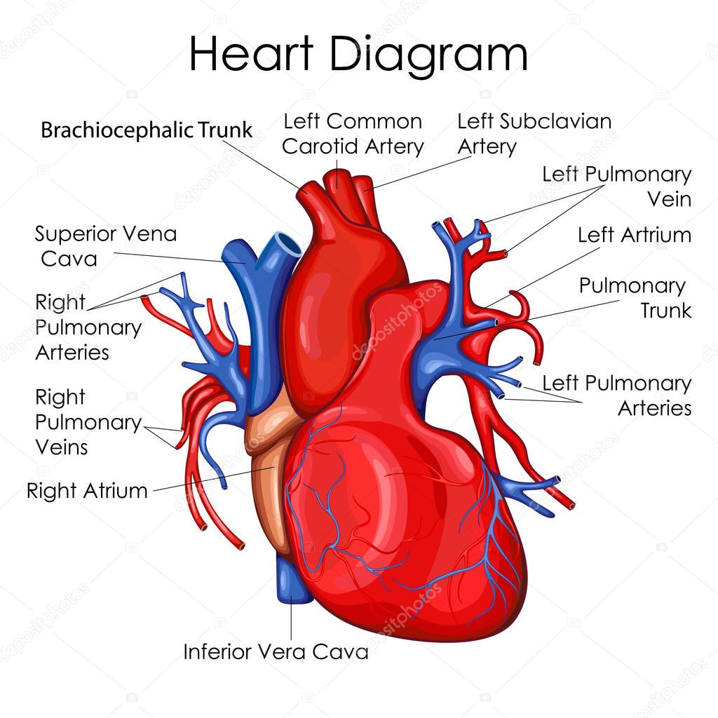 Medical Education Chart Of Biology For Heart Diagram
