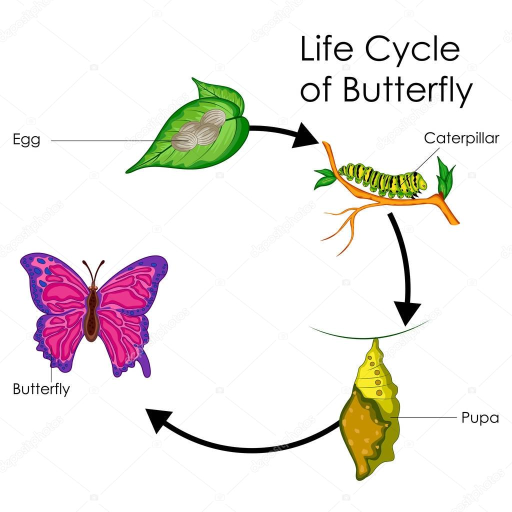 Pictures Butterfly Life Cycle Chart