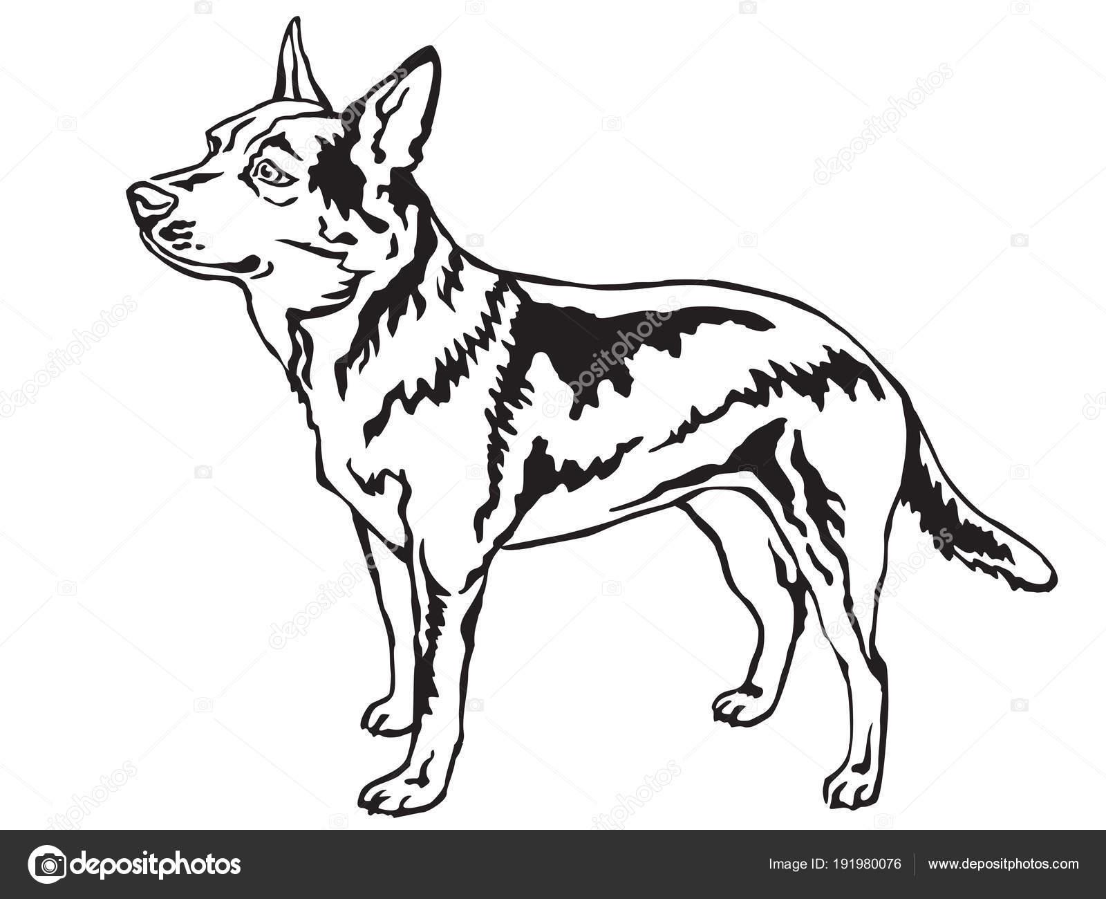 Decorative Standing Portrait Of Australian Cattle Dog