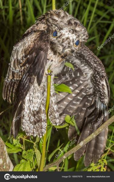 Night Bird Common Potoo Nyctibius Griseus Holding Tree Branch Weird     Night Bird Common Potoo Nyctibius Griseus Holding Tree Branch Weird     Stock  Photo