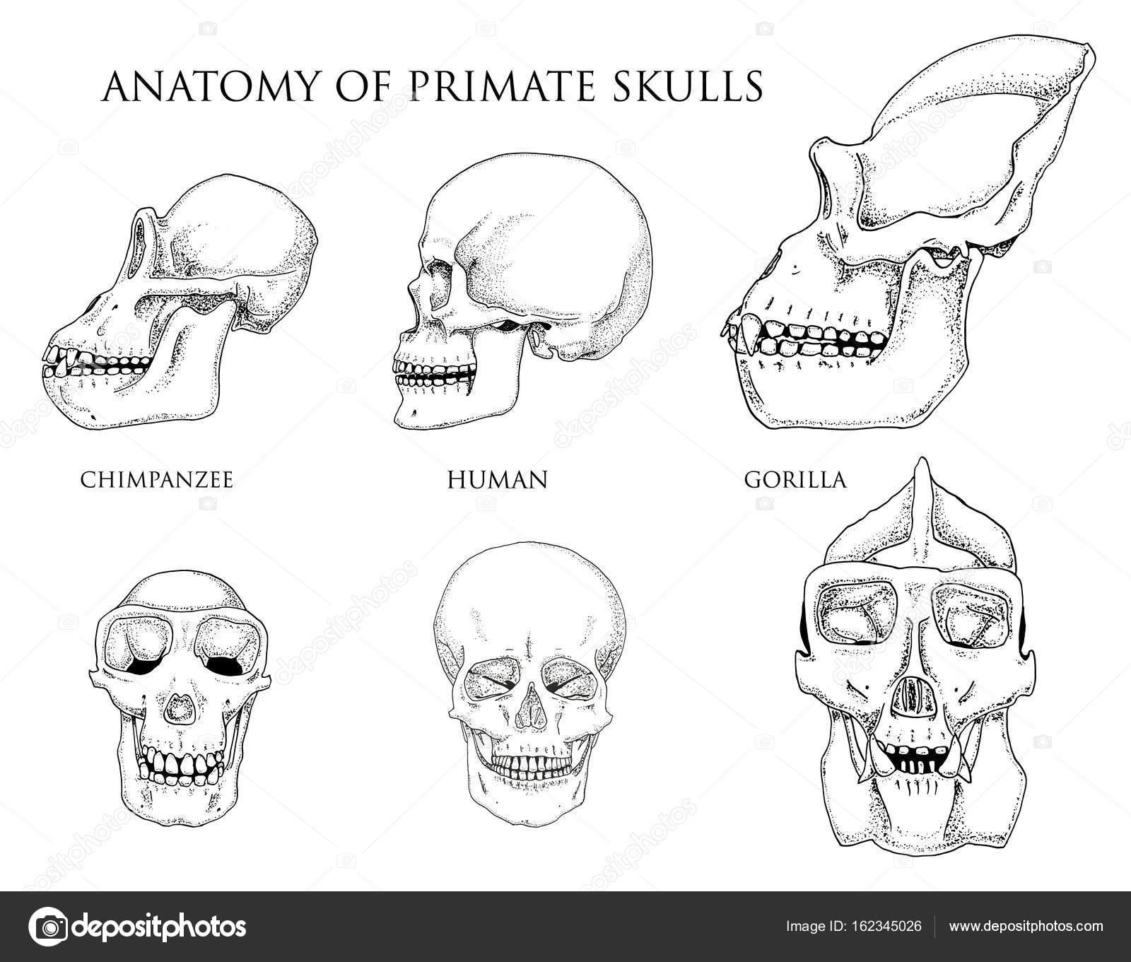 Human And Chimpanzee Gorilla Biology And Anatomy