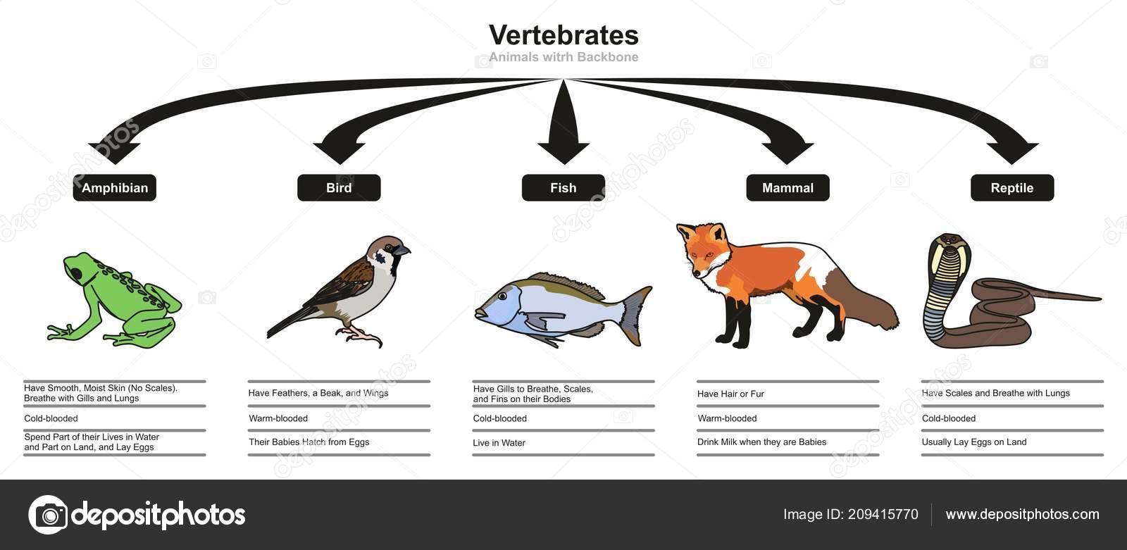 Clasificaciones Vertebrados Las Caracteristicas Diagrama