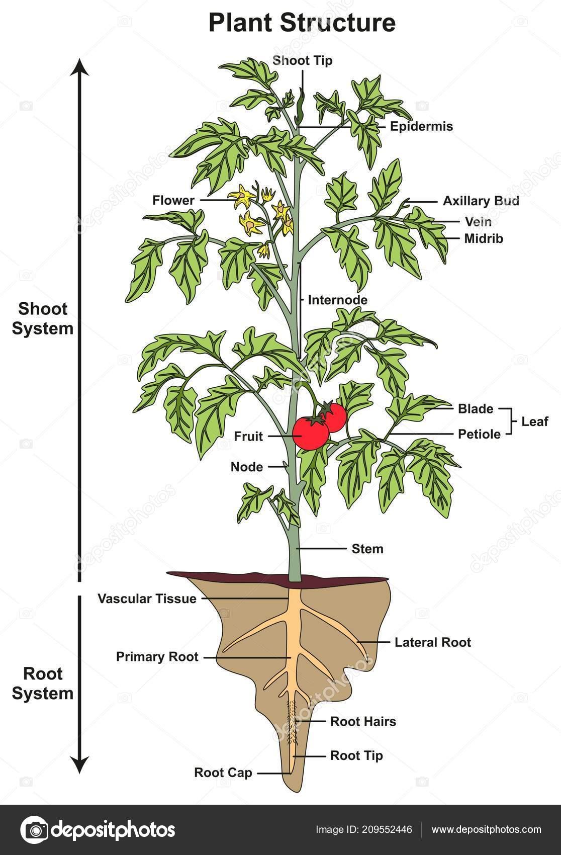 Plant Diagram With Parts Diagram