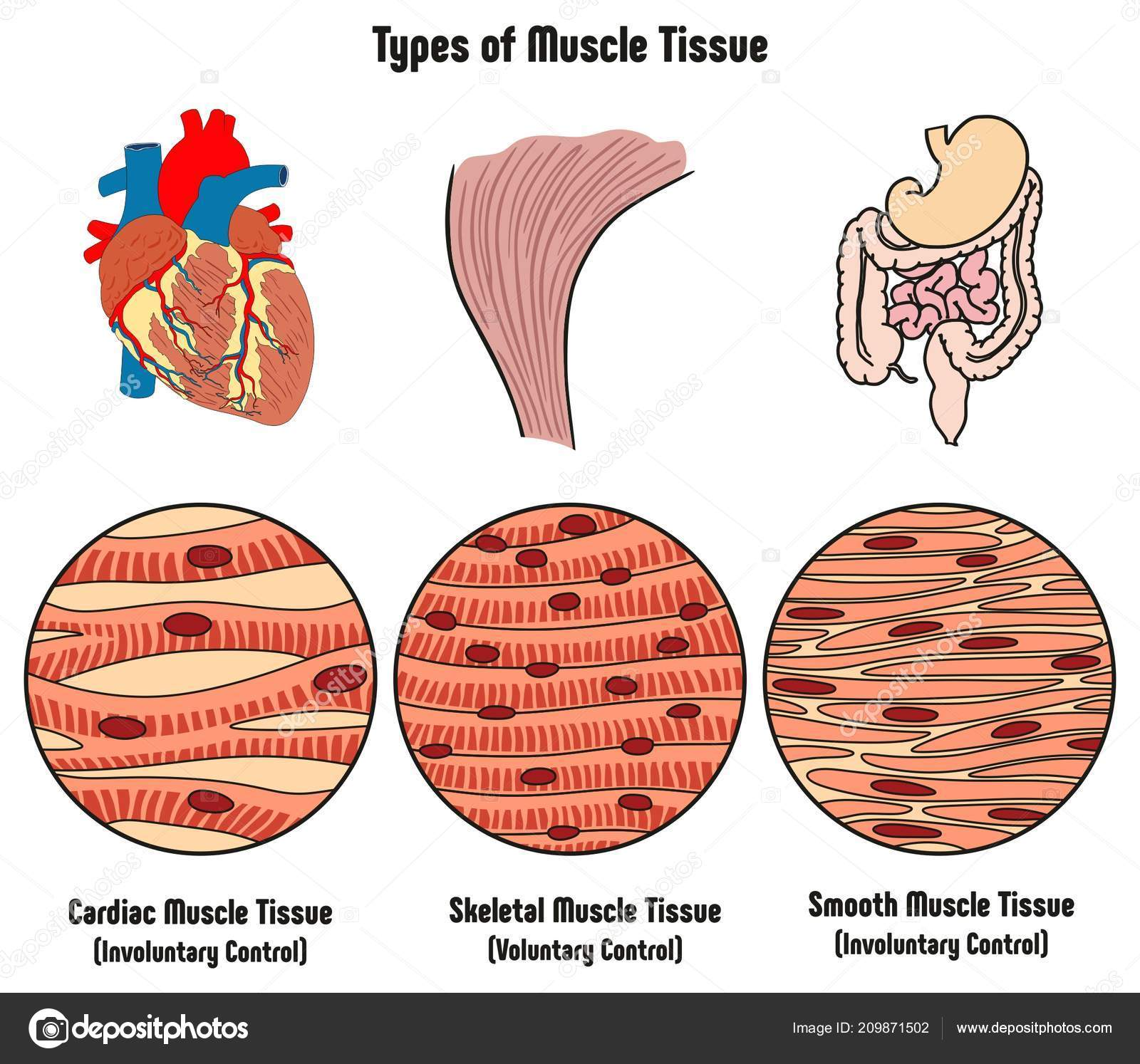 Pictures Muscle In Human Body Diagram