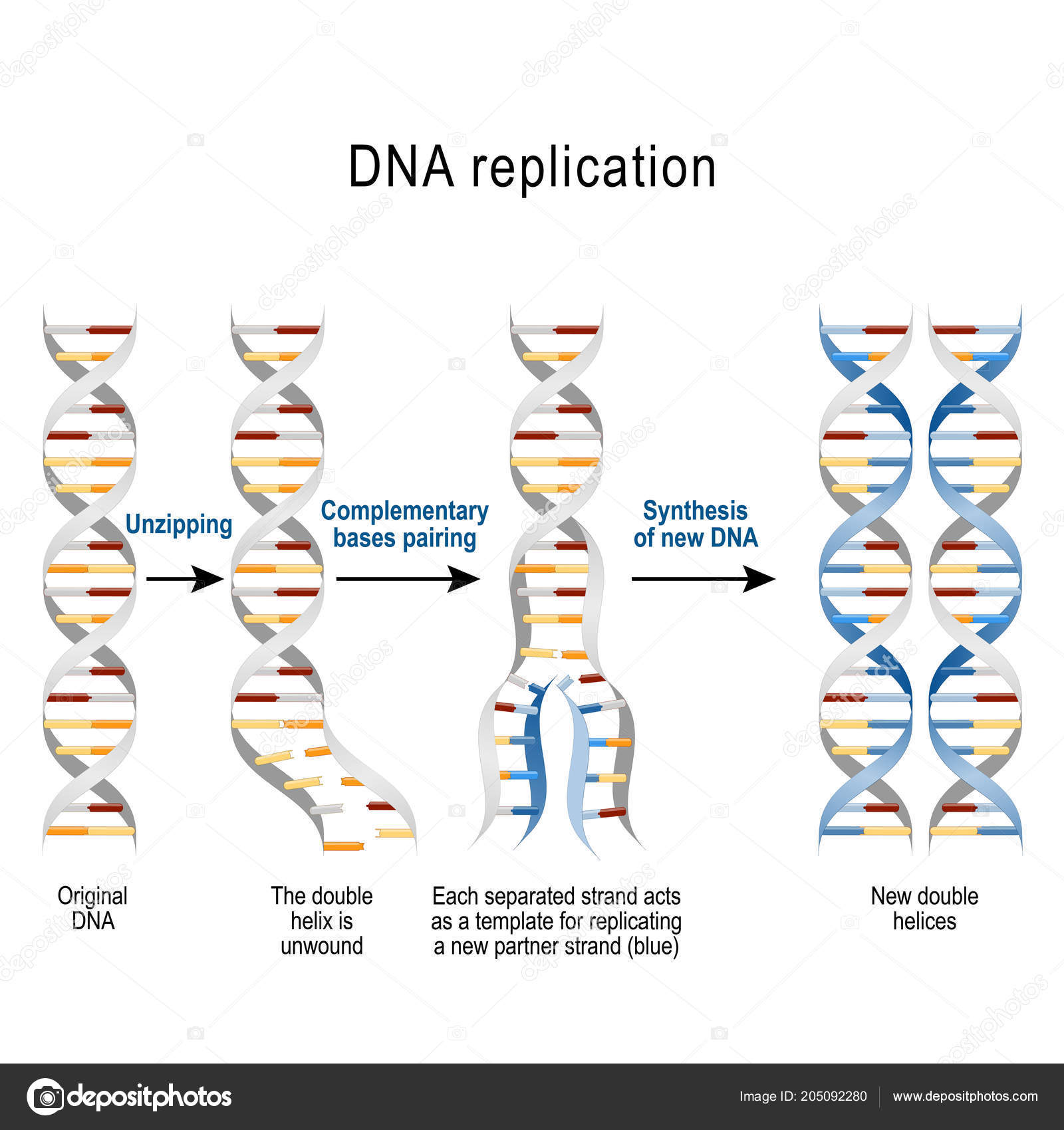 Dna Replication Steps Double Helix Unwound Each Separated