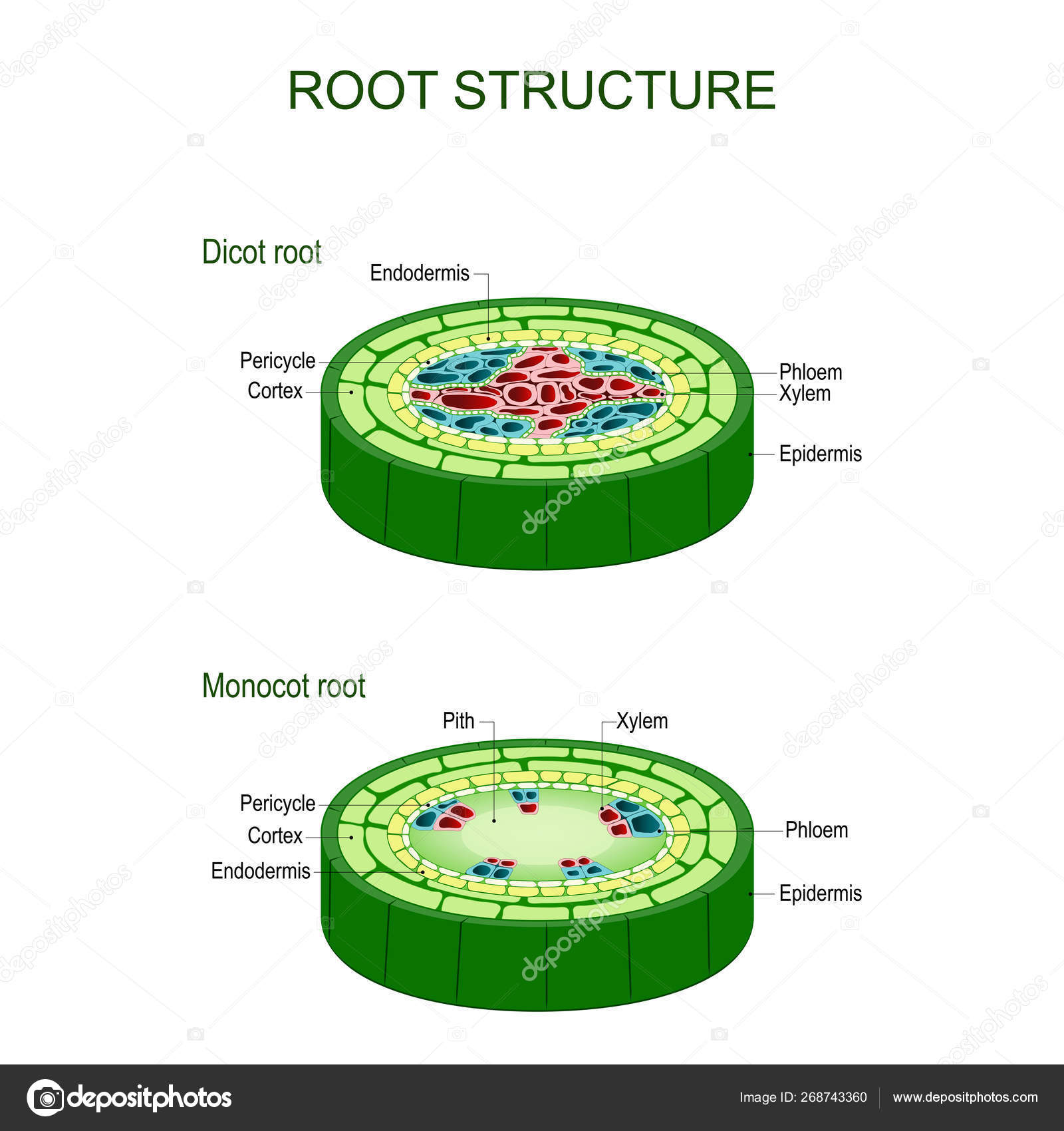 Monocot Stem Under Microscope