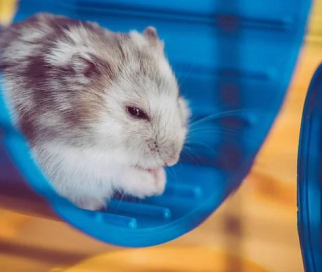 Selective Focus Adorable Hamster Sitting Blue Plastic Wheel Sunshine Stock Photo