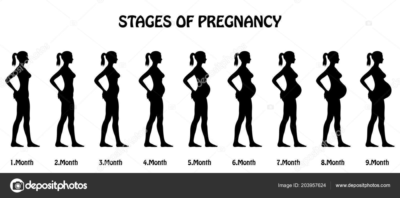 Stages Pregnancy Silhouettes All Objects Body Stages