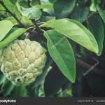 Images Custard Apple Tree Leaves Custard Apple Leaves Tree Stock Photo C Luknaja 222731144