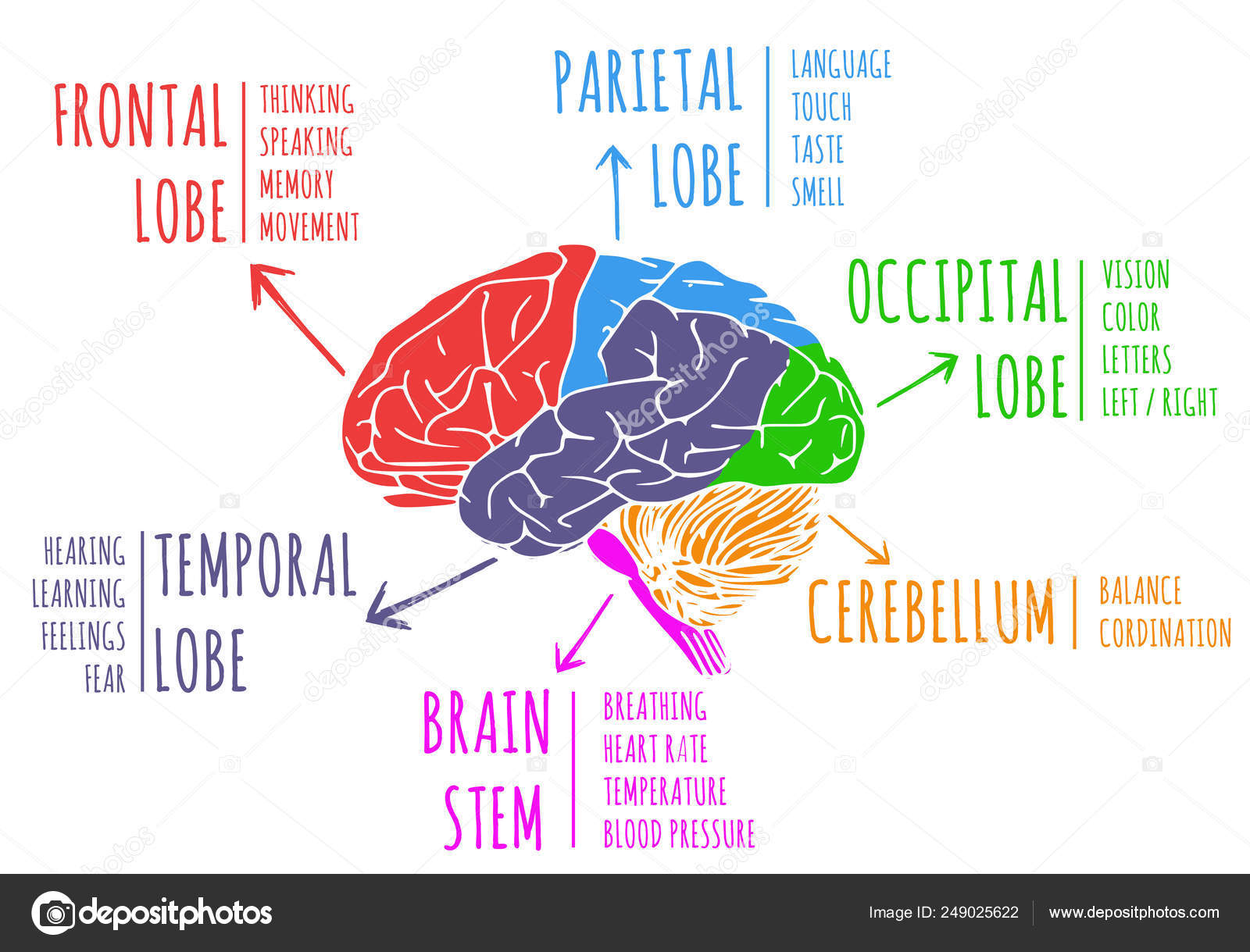 Illustration Human Brain Function Lobe